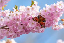 Peacock Butterfly (aglais Io) Collecting Nectar Pollen From White Pink Cherry Blossom In Early Spring