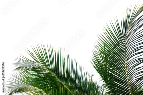 Canvas Prints Palm tree Coconut leaves on white isolated background for green foliage backdrop