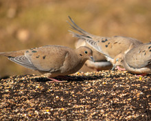 Mourning Doves Eating Birdseed...