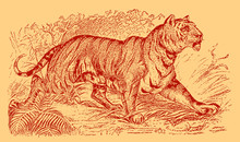 Tiger, Panthera Tigris Walking In A Landscape With Bushes, Grasses And Trees. Illustration After An Engraving From The 19th Century. Editable In Layers