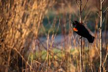 Red Winged Blackbird Sitting O...
