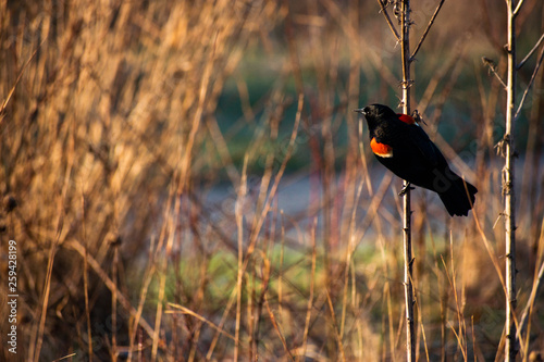 Photo Red winged blackbird sitting on a branch in the early morning sun