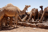 Wielbłądy przy wodopoju w oazie