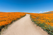 Inviting Path Through Poppy Wi...