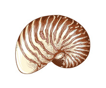 Hand Drawn Sketch Of Nautilus Shell In Color, Isolated On White Background. Detailed Vintage Style Drawing. Vector Illustration