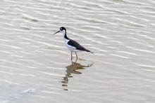 A Black-necked Stilt Bird Fish...