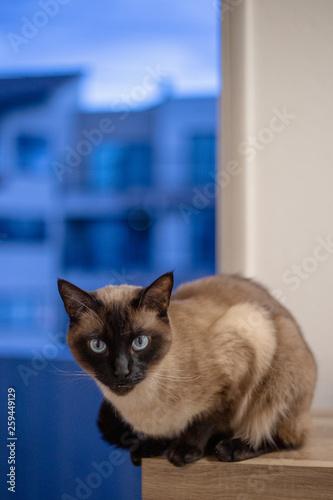 Siamese Cat in Window 1