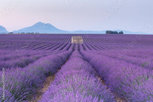 Poster Violet sunrise at lavender field