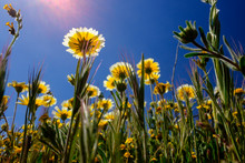 Tidy Tips Blooming At Carrizo Plain National Monument