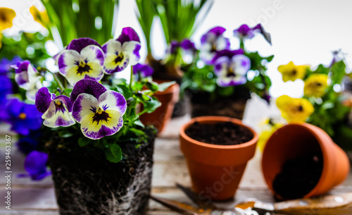Papiers peints Pansies The first spring colorful flowers ready for planting.