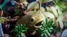 Ceramic Frog In A Pot Of Succu...