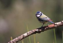 Blue Tit. Cyanistes Caeruleus