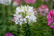 Spider Flower White Or Cleome ...