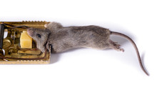 Mousetrap With A Piece Of Cheese, On A White Background, Which Caught A Gray Mouse.