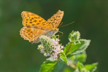 Silver-washed Fritillary (Argynnis Paphia) On Flower, Butterfly, Burgenland, Austria, Europe