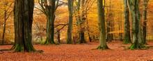 Old Beech (Fagus Sp.) Trees In Former Wood Pasture, Autumn, Backlight, Reinhardswald, Sababurg, Hesse, Germany, Europe