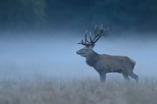 Red Deer (Cervus Elaphus), Buc...