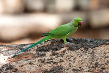 Rose-ringed Or Ring-necked Parakeet (Psittacula Krameri), Sri Lanka, Asia