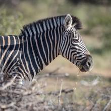 Plains Zebra Eating Grass, Bur...