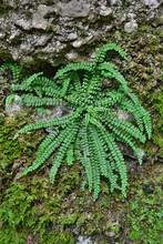 Green Fern, Maidenhair Spleenwort (Asplenium Trichomanes), Styria, Austria, Europe