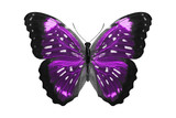Fototapeta Motyle - tropical Violet butterfly. isolated on white