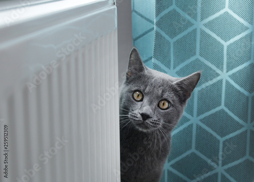 Cute grey cat looking in camera.Portrait of  Russian blue cat at home. Cozy home background.