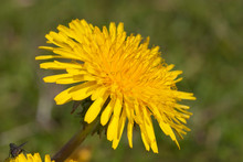Dandelion Taraxacum Officinale Flower Bloom