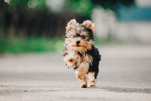 Yorkshire Terrier Dog On The G...