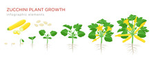 Zucchini Plant Growth From See...