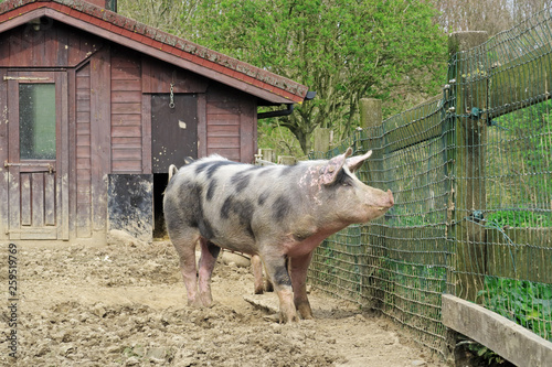 Photo Stands Ass élevage porcs belges de race piétrain