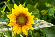 Beautiful Blooming Sunflower. Bright Yellow Petals Green Leaves Plant Sunny Day Summer Landscape, Farmers Field Background