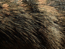 Closeup Hair Of Buffalo With S...