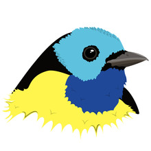 Realistic Image Of A Paradise Tanager Bird Head. Vector.