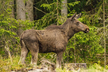 Large Female Moose Standing In...
