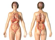 Woman Anatomy Internal Organs, Rear And Front Views.