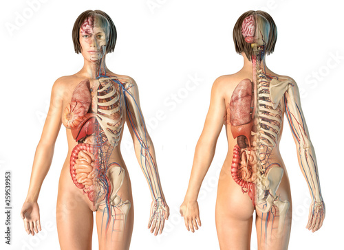 Vászonkép Woman anatomy cardiovascular system with skeleton and internal organs