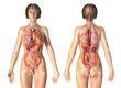 canvas print picture - Woman anatomy cardiovascular system with skeleton and internal organs.