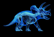 Triceratops Skeleton X-ray  On Black Background.