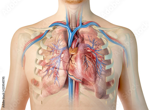 Human heart with vessels, lungs, bronchial tree and cut rib cage.