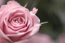 Rosen In Pink, Altrosa,  Hinte...