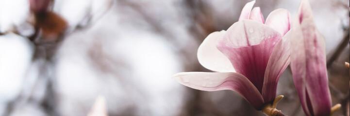 zauberhafte Magnolien - Banner/ Textfreiraum