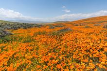 California Poppy Super Bloom W...