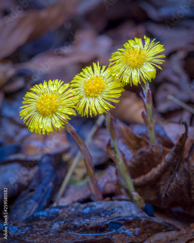 Obraz na plátne Three yellow coltsfoot flowers on a drizzly morning in early spring