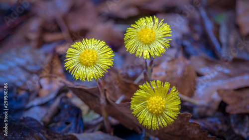 Photo Three yellow coltsfoot flowers on a drizzly morning in early spring