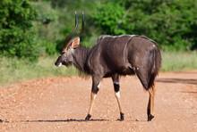 Male Nyala Antelope In Kruger National Park SOuth Africa