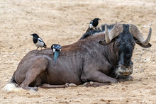 African Gnu With Birds Looking At You