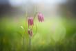 canvas print picture - Schachbrettblume auf Blumenwiese / checkerboard flower on meadow