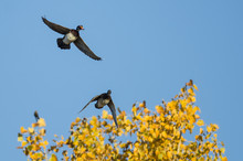 Pair Of Wood Ducks Flying Low Over The Autumn Trees