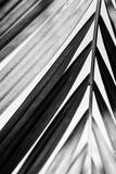 Kokosowy drzewka palmowego ulistnienie pod niebem. Tło. Czarno-biały soft focus. - 259598546