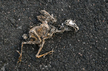 Dried Bird Corpse On Asphalt